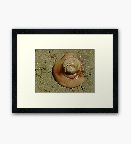 Shark Eye Moon Snail Framed Print