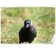 Jackdaw straight on Poster