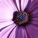 purple osteospermum Aida - closeup - macro by bubblehex08