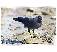 Jackdaw on a rock Poster