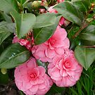 CAMELLIAS FROM MY GARDEN by Marilyn Grimble