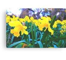 Spring Time Daffodils 2 Canvas Print