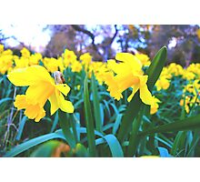 Spring Time Daffodils 2 Photographic Print