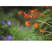Montbretia, Orange Wild Flowers Photographic Print