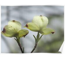 Blooming DogWood Tree Poster