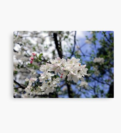 Bee at work on the apple tree flowe Canvas Print