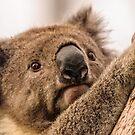 Koala 3 by Werner Padarin