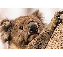 Koala 3 Photographic Print