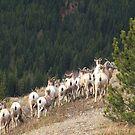 Row of sheep by zumi