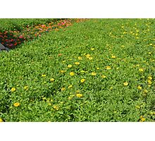 Green meadow with yellow flowers. Photographic Print