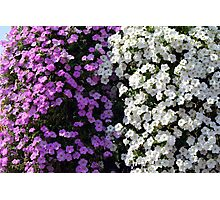 White and purple flowers, natural background. Photographic Print