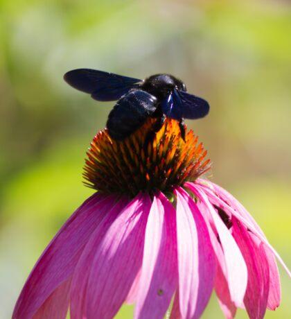 bee on echinacea in the garden Sticker