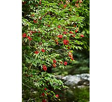 Red Rowan tree berries on branches Photographic Print
