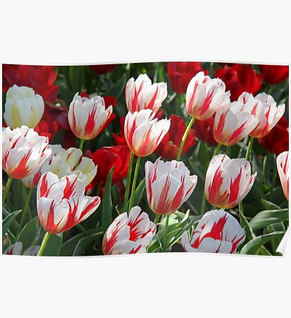 Tulip Patch - Red and White Poster