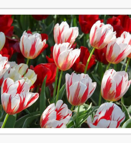 Tulip Patch - Red and White Sticker
