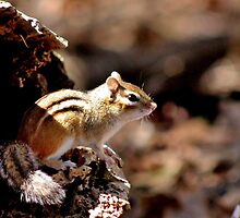 Eastern Chipmunk by Kathleen Daley