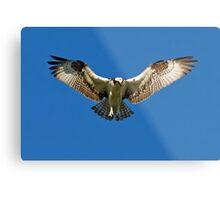 Osprey hunts for dinner Metal Print