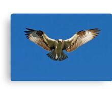 Osprey hunts for dinner Canvas Print