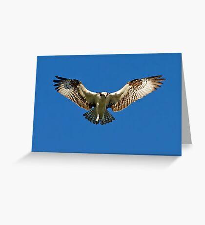 Osprey hunts for dinner Greeting Card