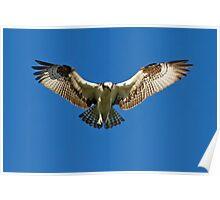 Osprey hunts for dinner Poster