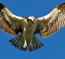 Osprey hunts for dinner Sticker