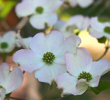 White Dogwood Flowers by John Butler