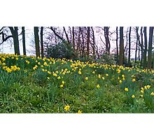 Daffodils Rising Photographic Print