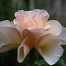 New rose Leith Park Victoria 20151221 6497 by Fred Mitchell