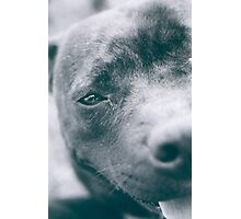Delta - Staffordshire Bull Terrier Photographic Print