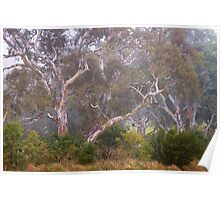 River gums in fog Poster