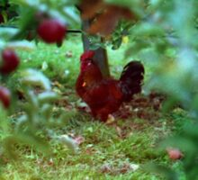 Apple Tree Chicken  Sticker