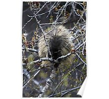 North American Porcupine Poster