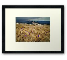 Crocus flowers on a meadow at mountain Framed Print