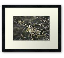 Sunlit Catkins Framed Print