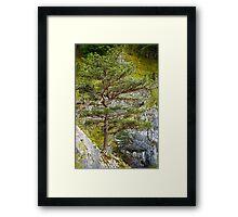 Pinus nigra on mountains peak Framed Print