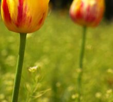 yellow and pink tulips Sticker