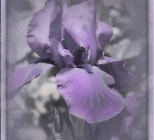 Purple Iris #3 by Elaine Teague