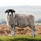 Sheep by Dave Hare