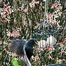 The blackbird and the cage by missmoneypenny