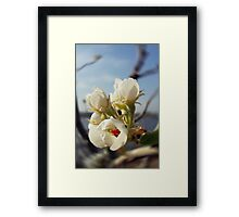 Pear flowers Framed Print