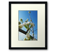 Pear flower Framed Print