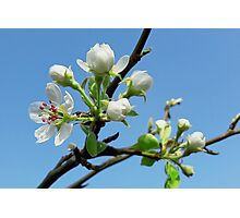 Pear flower Photographic Print