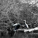 Heron pair by missmoneypenny