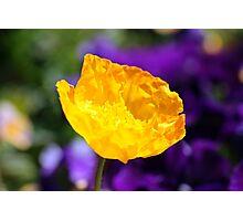 Yellow Poppy 2 Photographic Print