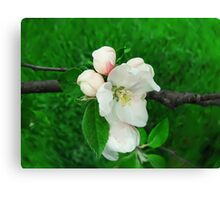apple blooming Canvas Print