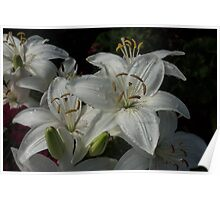 Sparkling White Oriental Lilies After a Rain Shower Poster