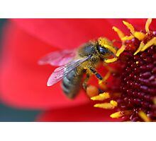 Bee in a Flower Photographic Print