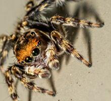 House Jumping Spider - Hypoblemum albovittatum Sticker