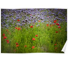 Field of phacelia (scorpionweed) and poppies Poster