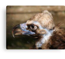 black vulture Canvas Print